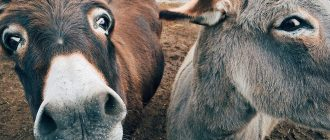 What does it mean to dream about donkeys