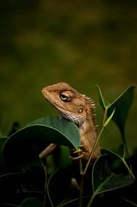 Iguana relaxing in the leaves