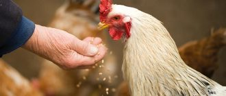 What does it mean to dream about chickens
