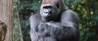 What does it mean to dream about gorillas