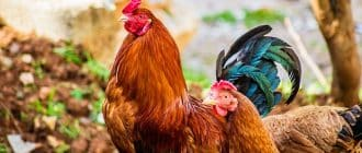 What does it mean to dream about roosters