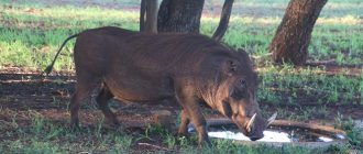 What does it mean to dream about wild boar