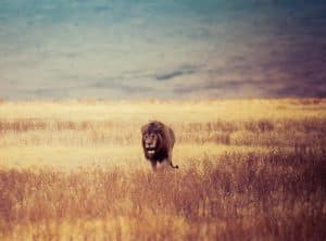 Brown lion in a grass field