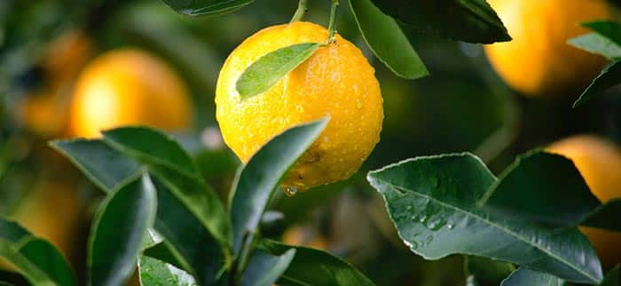 What does it mean to dream about lemons
