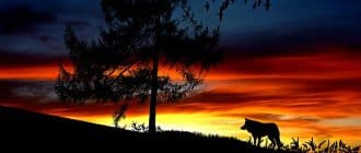 What does it mean to dream of wolves