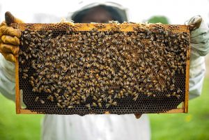 Beekeeper holding honeycomb with bees and honey