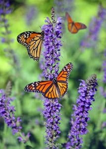 Monarch butterflies on a lavender