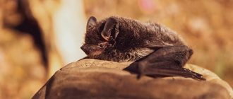 What does it mean to dream about bats