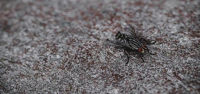 What does it mean to dream of flies
