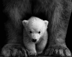 White bear cub standing inbetween mama bear legs