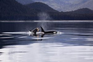 Two killer whales luring on a lake