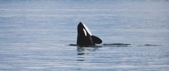 What does it mean to dream about killer whales
