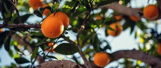 What does it mean to dream about oranges